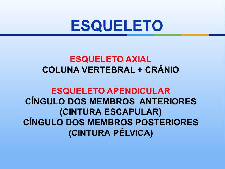 ESQUELETO ESQUELETO AXIAL COLUNA VERTEBRAL + CRÂNIO ESQUELETO APENDICULAR CÍNGULO DOS MEMBROS ANTERIORES (CINTURA ESCAPULAR) CÍNGULO DOS MEMBROS POSTE
