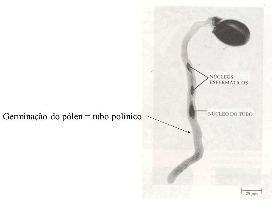 Germinação do pólen = tubo polínico