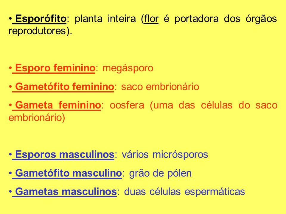 Esporófito: planta inteira (flor é portadora dos órgãos reprodutores). Esporo feminino: megásporo Gametófito feminino: saco embrionário Gameta feminin