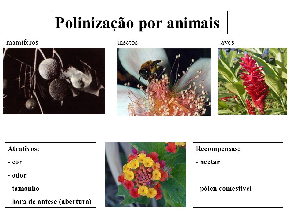 Polinização por animais insetosmamíferosaves Recompensas: - néctar - pólen comestível Atrativos: - cor - odor - tamanho - hora de antese (abertura)