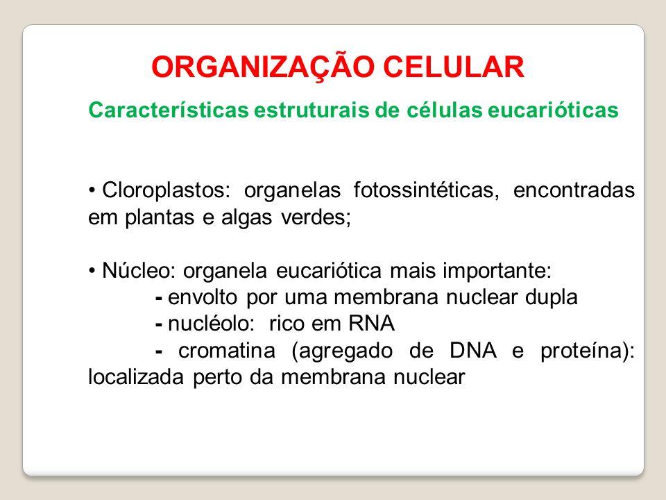 ORGANIZAÇÃO CELULAR Características estruturais de células eucarióticas Cloroplastos: organelas fotossintéticas, encontradas em plantas e algas verdes; Núcleo: organela eucariótica mais importante: - envolto por uma membrana nuclear dupla - nucléolo: rico em RNA - cromatina (agregado de DNA e proteína): localizada perto da membrana nuclear