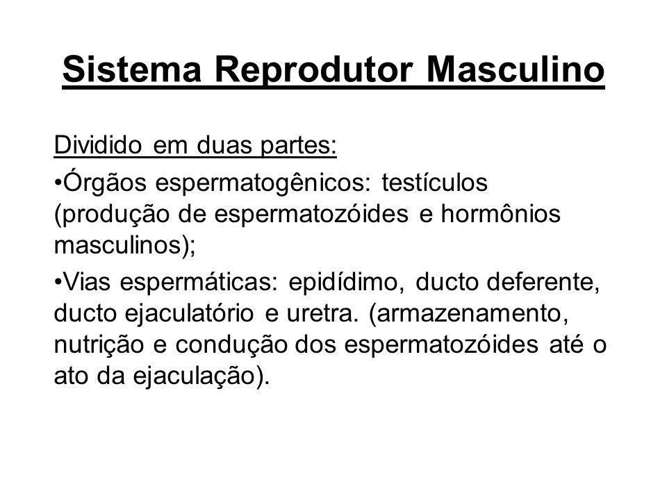 Sistema Reprodutor Masculino Dividido em duas partes: Órgãos espermatogênicos: testículos (produção de espermatozóides e hormônios masculinos); Vias e