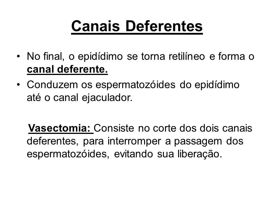 Canais Deferentes No final, o epidídimo se torna retilíneo e forma o canal deferente. Conduzem os espermatozóides do epidídimo até o canal ejaculador.