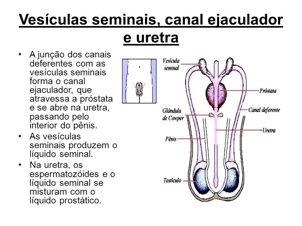 Vesículas seminais, canal ejaculador e uretra A junção dos canais deferentes com as vesículas seminais forma o canal ejaculador, que atravessa a próst