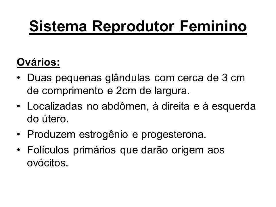 Sistema Reprodutor Feminino Ovários: Duas pequenas glândulas com cerca de 3 cm de comprimento e 2cm de largura. Localizadas no abdômen, à direita e à