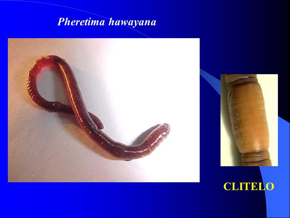 Pheretima hawayana CLITELO