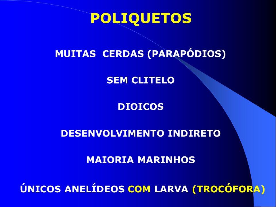 POLIQUETOS MUITAS CERDAS (PARAPÓDIOS) SEM CLITELO DIOICOS DESENVOLVIMENTO INDIRETO MAIORIA MARINHOS ÚNICOS ANELÍDEOS COM LARVA (TROCÓFORA)