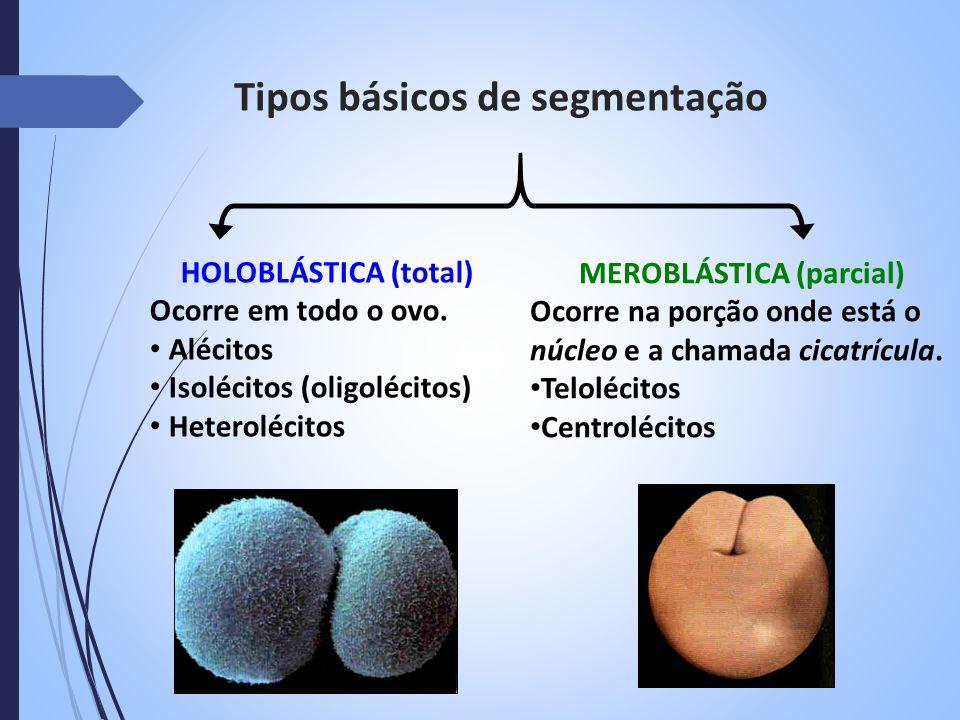 Tipos básicos de segmentação HOLOBLÁSTICA (total) Ocorre em todo o ovo. Alécitos Isolécitos (oligolécitos) Heterolécitos MEROBLÁSTICA (parcial) Ocorre