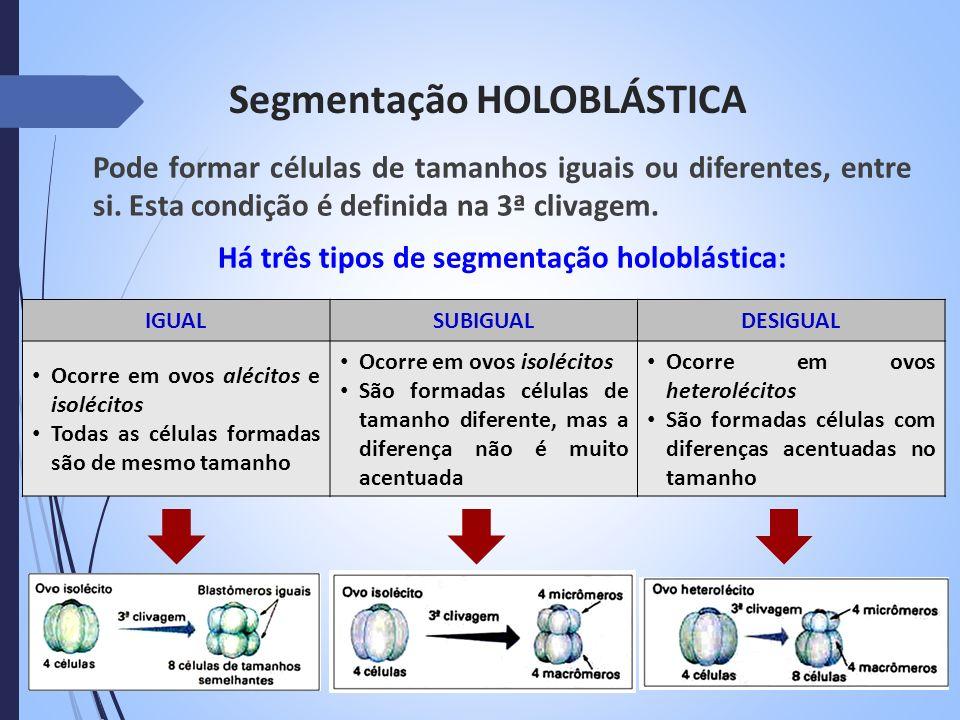 Segmentação HOLOBLÁSTICA Pode formar células de tamanhos iguais ou diferentes, entre si. Esta condição é definida na 3ª clivagem. Há três tipos de seg