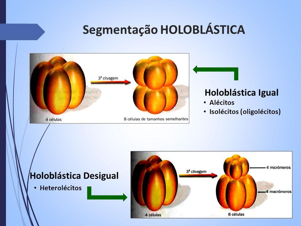 Segmentação HOLOBLÁSTICA Holoblástica Igual Alécitos Isolécitos (oligolécitos) Holoblástica Desigual Heterolécitos