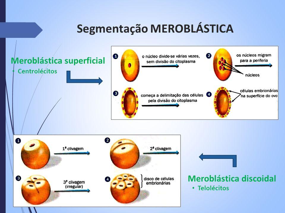 Segmentação MEROBLÁSTICA Meroblástica superficial Centrolécitos Meroblástica discoidal Telolécitos