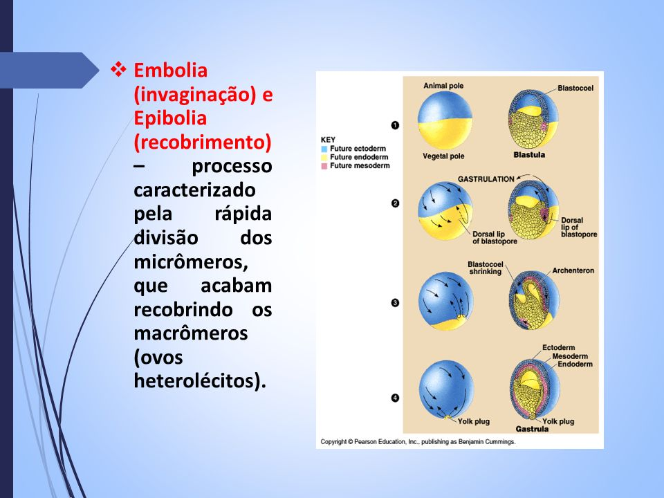 Embolia (invaginação) e Epibolia (recobrimento) – processo caracterizado pela rápida divisão dos micrômeros, que acabam recobrindo os macrômeros (ovos