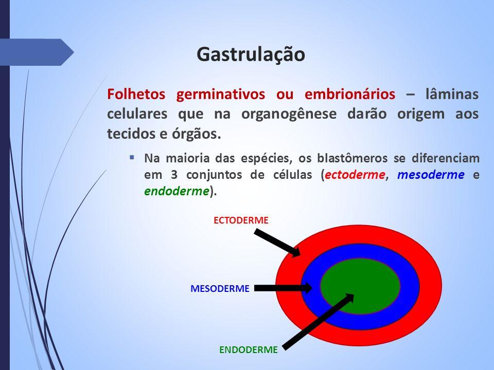 Gastrulação Folhetos germinativos ou embrionários – lâminas celulares que na organogênese darão origem aos tecidos e órgãos. Na maioria das espécies,