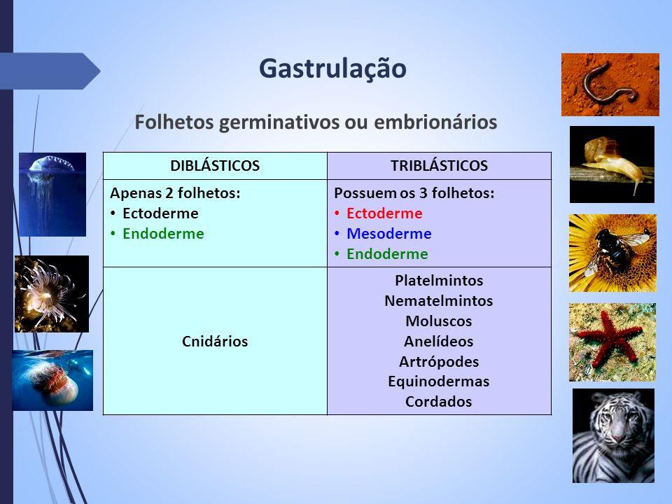 Gastrulação Folhetos germinativos ou embrionários DIBLÁSTICOSTRIBLÁSTICOS Apenas 2 folhetos: Ectoderme Endoderme Possuem os 3 folhetos: Ectoderme Meso