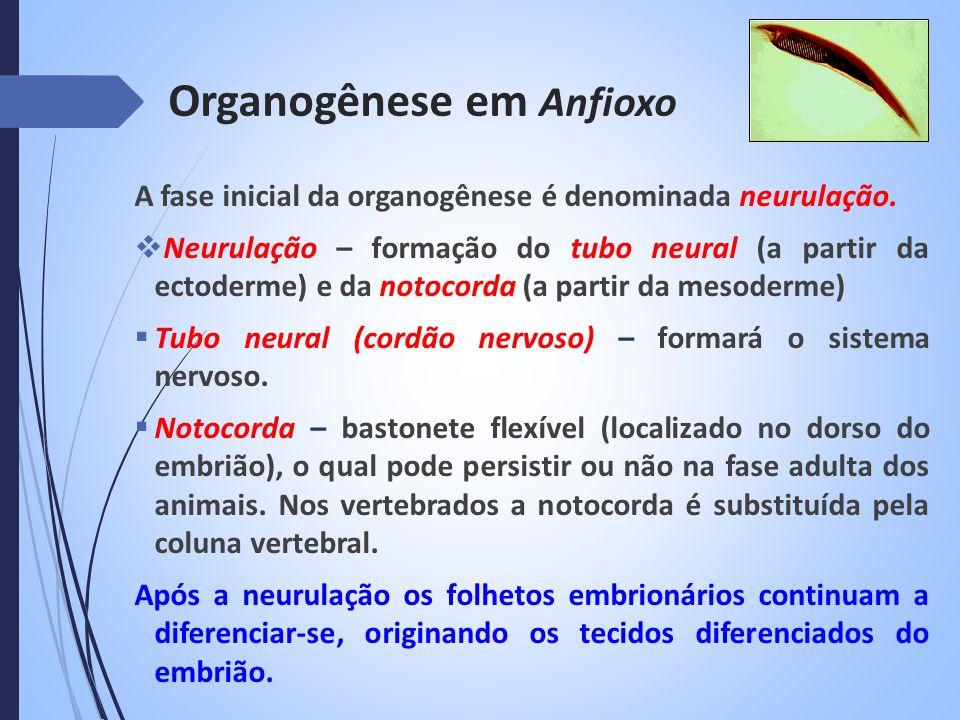 Organogênese em Anfioxo A fase inicial da organogênese é denominada neurulação. Neurulação – formação do tubo neural (a partir da ectoderme) e da noto