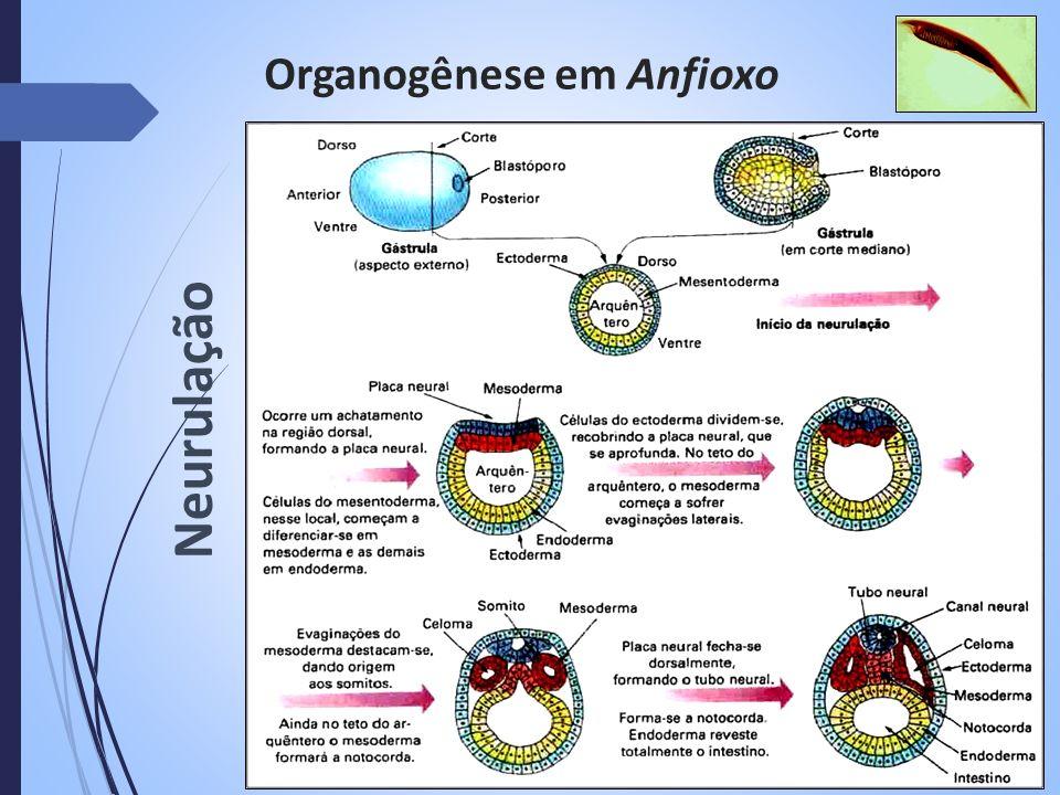 Organogênese em Anfioxo Neurulação