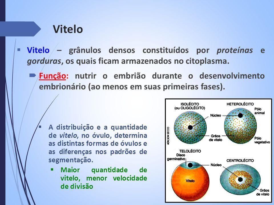 Vitelo Vitelo – grânulos densos constituídos por proteínas e gorduras, os quais ficam armazenados no citoplasma. Função: nutrir o embrião durante o de