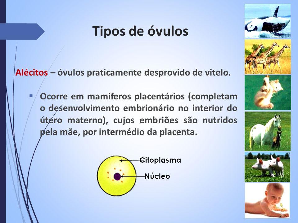 Tipos de óvulos Alécitos – óvulos praticamente desprovido de vitelo. Ocorre em mamíferos placentários (completam o desenvolvimento embrionário no inte