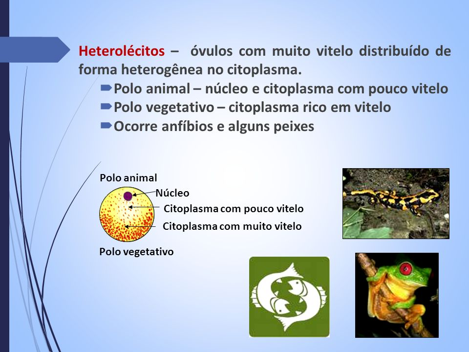 Heterolécitos – óvulos com muito vitelo distribuído de forma heterogênea no citoplasma. Polo animal – núcleo e citoplasma com pouco vitelo Polo vegeta