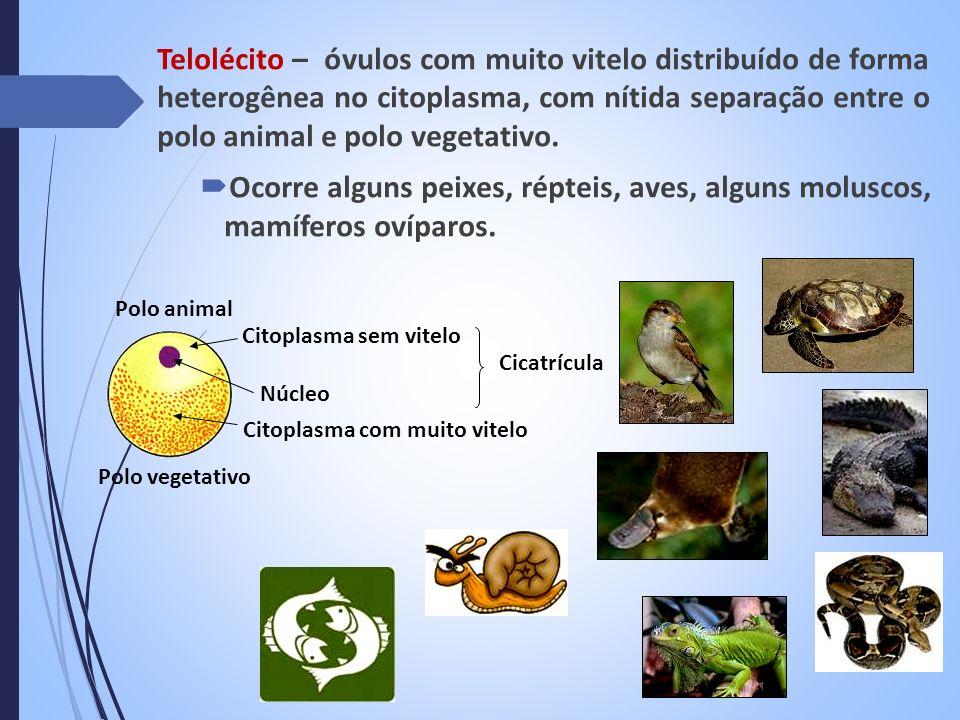 Telolécito – óvulos com muito vitelo distribuído de forma heterogênea no citoplasma, com nítida separação entre o polo animal e polo vegetativo. Ocorr