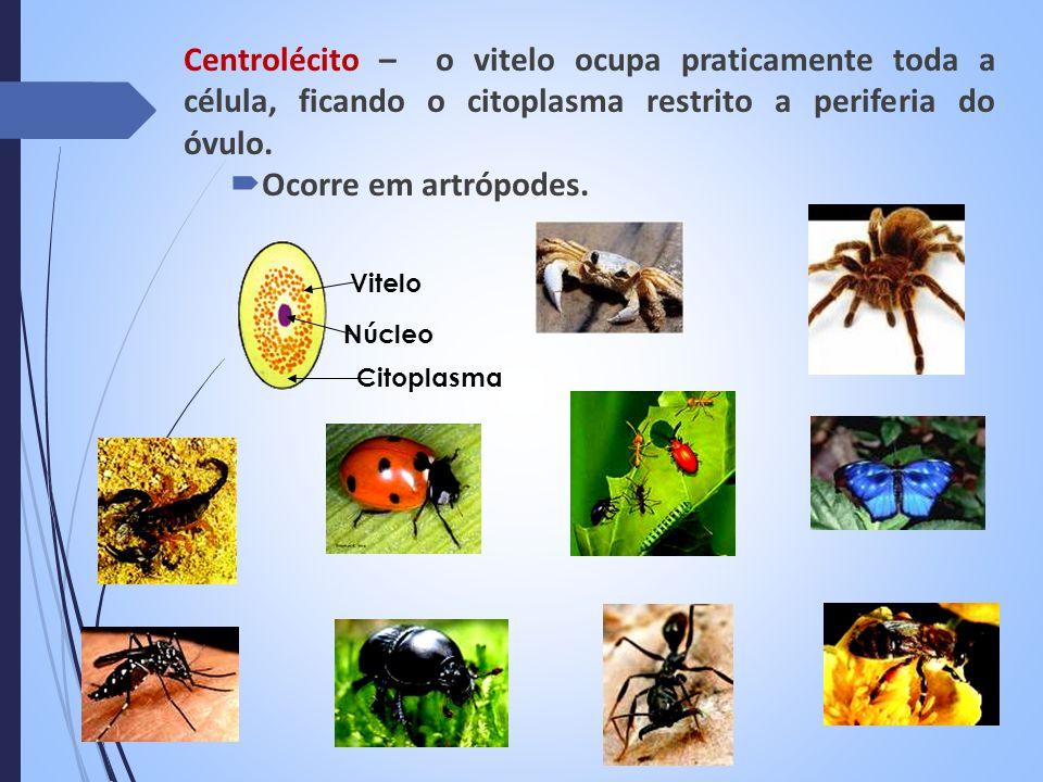 TIPOS DE ÓVULOSORGANISMO AlécitoMamíferos placentários Isolécitos (oligolécitos)Equinodermos; Cefalocordados HeterolécitosPeixes; Anfíbios Telolécitos Peixes; Répteis; Aves; Moluscos; Mamíferos ovíparos CentrolécitosArtrópodes