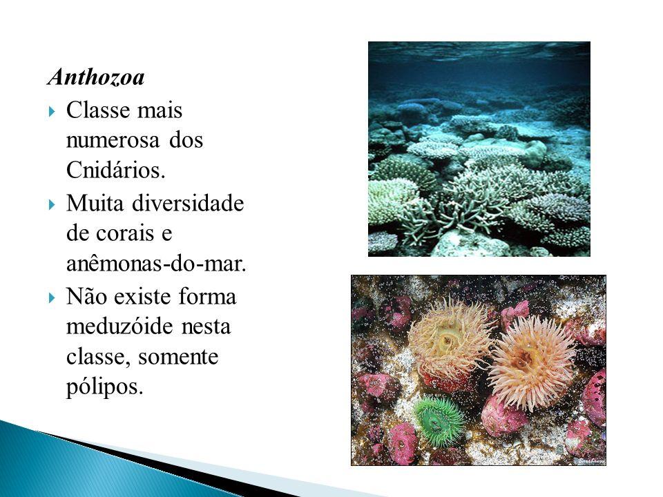 Anthozoa Classe mais numerosa dos Cnidários. Muita diversidade de corais e anêmonas-do-mar. Não existe forma meduzóide nesta classe, somente pólipos.