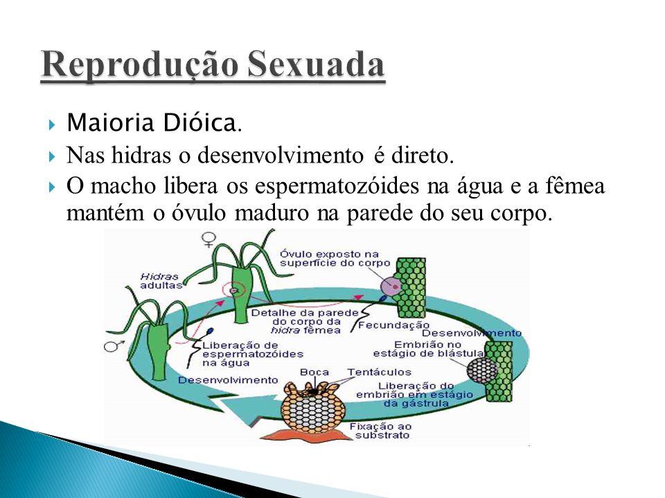 Maioria Dióica. Nas hidras o desenvolvimento é direto. O macho libera os espermatozóides na água e a fêmea mantém o óvulo maduro na parede do seu corp