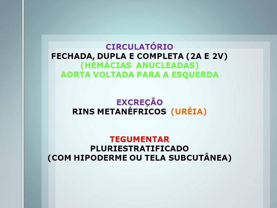 CIRCULATÓRIO FECHADA, DUPLA E COMPLETA (2A E 2V) (HEMÁCIAS ANUCLEADAS) AORTA VOLTADA PARA A ESQUERDA EXCREÇÃO RINS METANÉFRICOS (URÉIA) TEGUMENTAR PLU