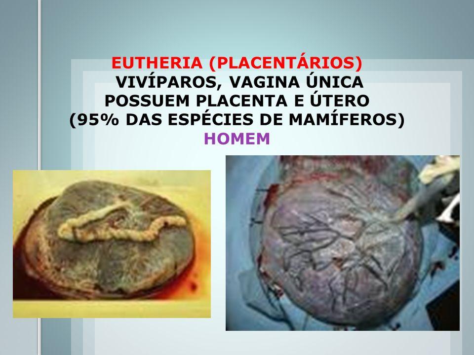 EUTHERIA (PLACENTÁRIOS) VIVÍPAROS, VAGINA ÚNICA POSSUEM PLACENTA E ÚTERO (95% DAS ESPÉCIES DE MAMÍFEROS) HOMEM