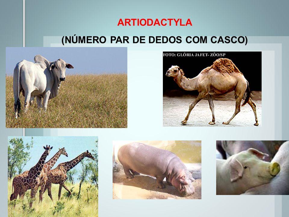 ARTIODACTYLA (NÚMERO PAR DE DEDOS COM CASCO)