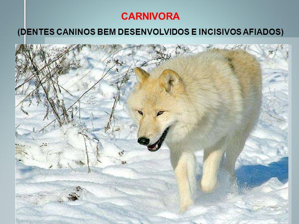 CARNIVORA (DENTES CANINOS BEM DESENVOLVIDOS E INCISIVOS AFIADOS)