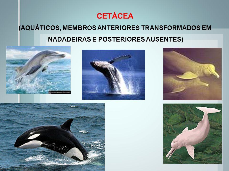 CETÁCEA (AQUÁTICOS, MEMBROS ANTERIORES TRANSFORMADOS EM NADADEIRAS E POSTERIORES AUSENTES)