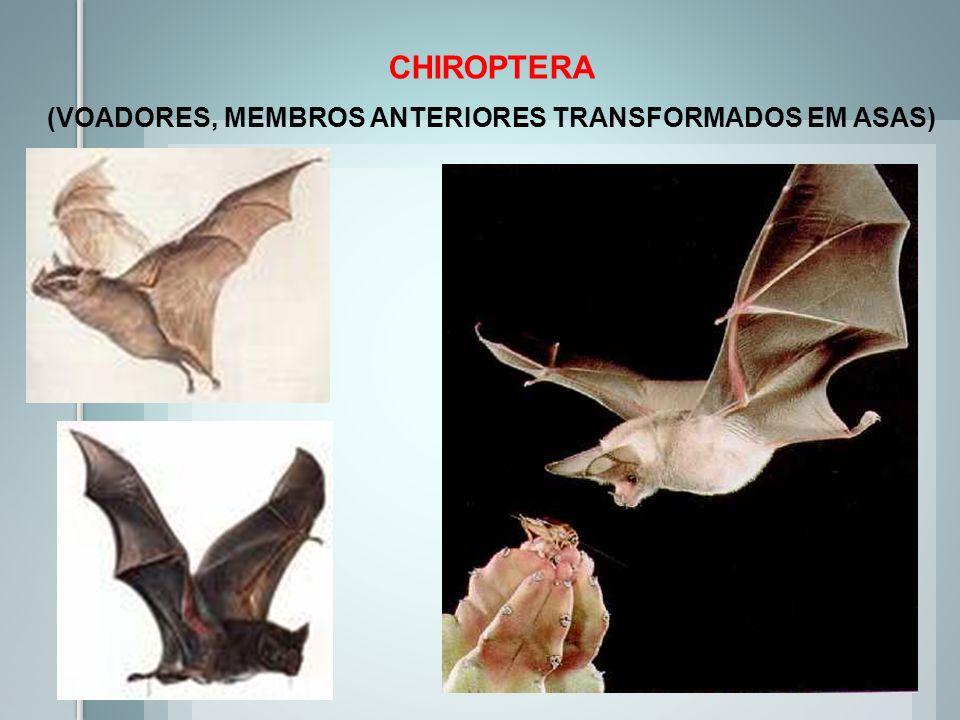 CHIROPTERA (VOADORES, MEMBROS ANTERIORES TRANSFORMADOS EM ASAS)