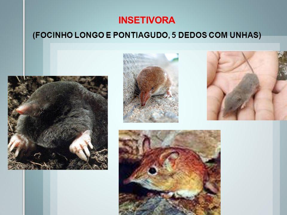 INSETIVORA (FOCINHO LONGO E PONTIAGUDO, 5 DEDOS COM UNHAS)