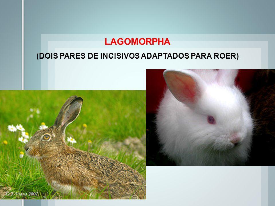 LAGOMORPHA (DOIS PARES DE INCISIVOS ADAPTADOS PARA ROER)