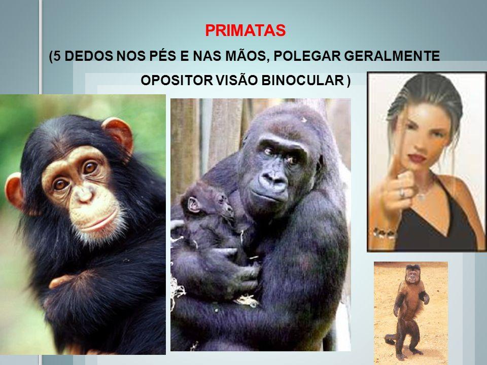 PRIMATAS (5 DEDOS NOS PÉS E NAS MÃOS, POLEGAR GERALMENTE OPOSITOR VISÃO BINOCULAR )