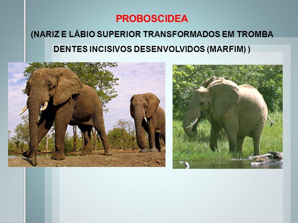 PROBOSCIDEA (NARIZ E LÁBIO SUPERIOR TRANSFORMADOS EM TROMBA DENTES INCISIVOS DESENVOLVIDOS (MARFIM) )