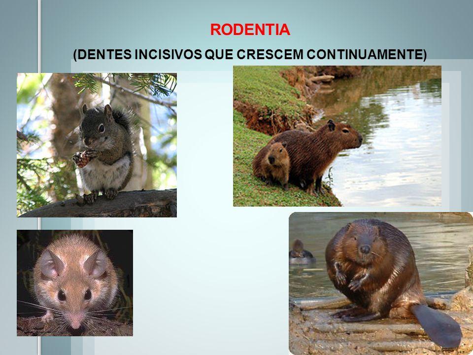 RODENTIA (DENTES INCISIVOS QUE CRESCEM CONTINUAMENTE)