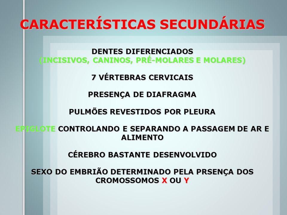 CARACTERÍSTICAS SECUNDÁRIAS DENTES DIFERENCIADOS (INCISIVOS, CANINOS, PRÉ-MOLARES E MOLARES) 7 VÉRTEBRAS CERVICAIS PRESENÇA DE DIAFRAGMA PULMÕES REVES