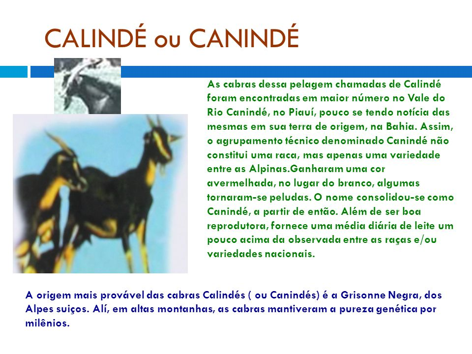 CALINDÉ ou CANINDÉ As cabras dessa pelagem chamadas de Calindé foram encontradas em maior número no Vale do Rio Canindé, no Piauí, pouco se tendo notícia das mesmas em sua terra de origem, na Bahia.