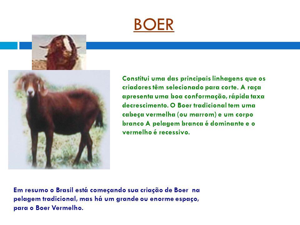 BOER Constitui uma das principais linhagens que os criadores têm selecionado para corte.