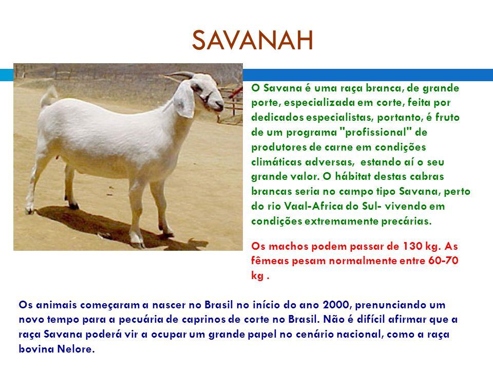 SAVANAH O Savana é uma raça branca, de grande porte, especializada em corte, feita por dedicados especialistas, portanto, é fruto de um programa profissional de produtores de carne em condições climáticas adversas, estando aí o seu grande valor.