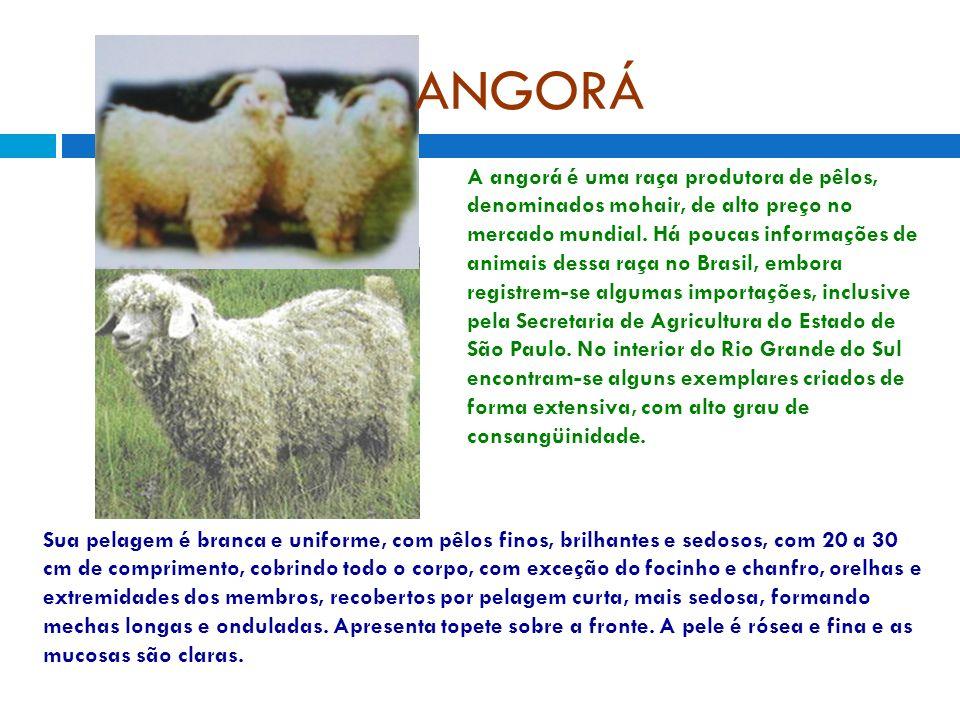 ANGORÁ A angorá é uma raça produtora de pêlos, denominados mohair, de alto preço no mercado mundial. Há poucas informações de animais dessa raça no Br