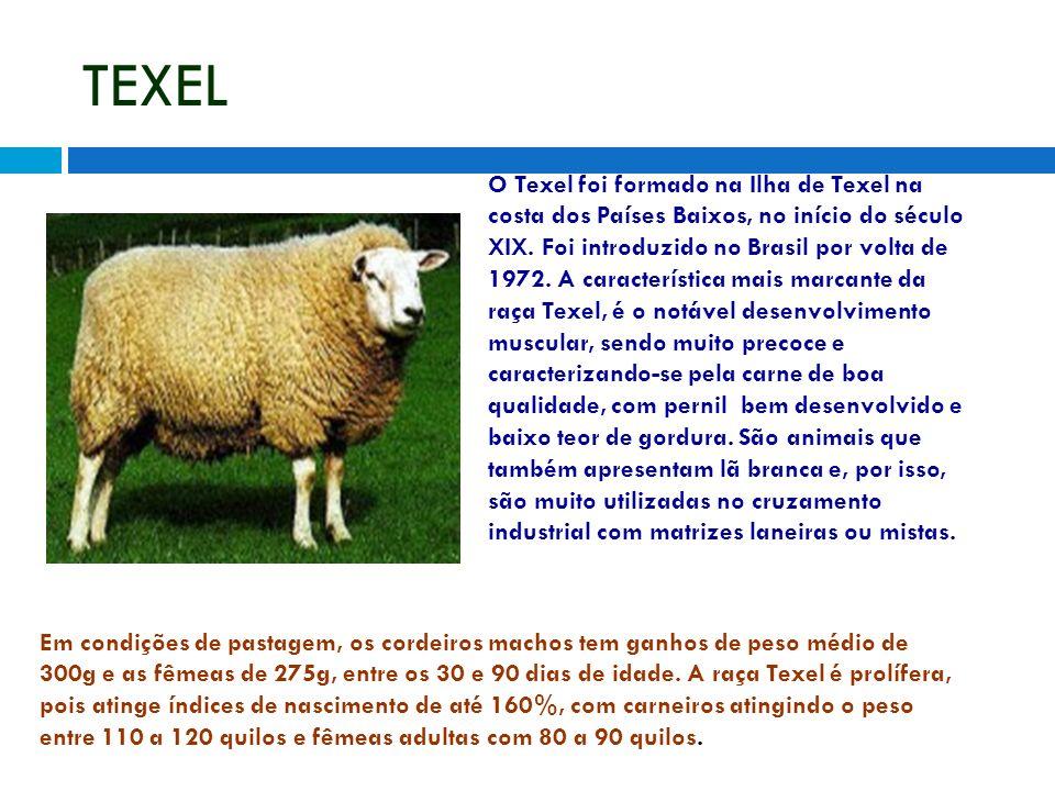 TEXEL O Texel foi formado na Ilha de Texel na costa dos Países Baixos, no início do século XIX. Foi introduzido no Brasil por volta de 1972. A caracte