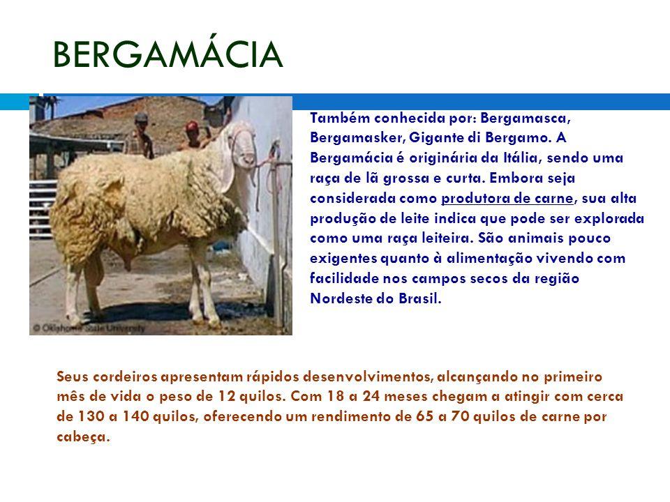 BERGAMÁCIA Também conhecida por: Bergamasca, Bergamasker, Gigante di Bergamo. A Bergamácia é originária da Itália, sendo uma raça de lã grossa e curta