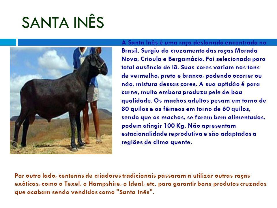 SANTA INÊS A Santa Inês é uma raça deslanada encontrada no Brasil. Surgiu do cruzamento das raças Morada Nova, Crioula e Bergamácia. Foi selecionada p