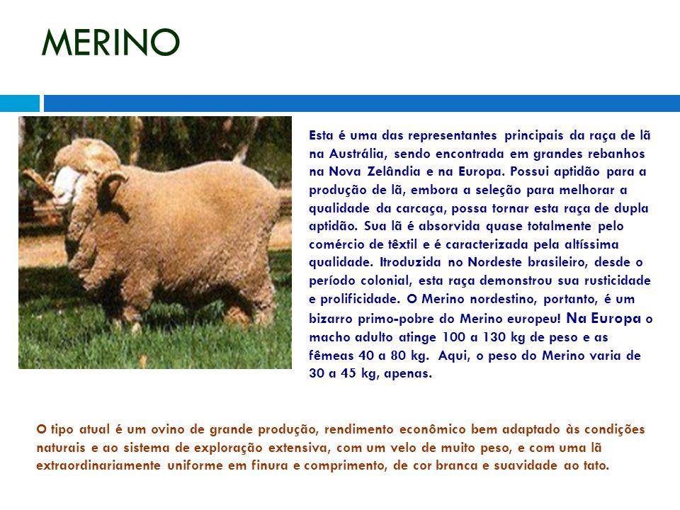 MERINO Esta é uma das representantes principais da raça de lã na Austrália, sendo encontrada em grandes rebanhos na Nova Zelândia e na Europa. Possui