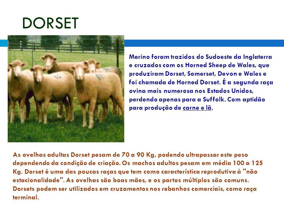 DORSET Merino foram trazidos do Sudoeste da Inglaterra e cruzados com os Horned Sheep de Wales, que produziram Dorset, Somerset, Devon e Wales e foi chamada de Horned Dorset.
