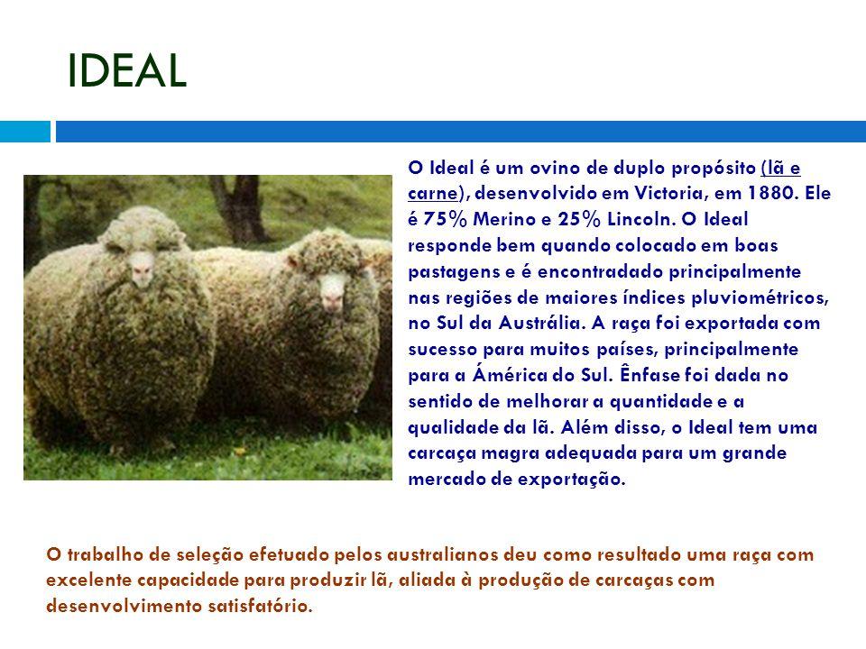IDEAL O Ideal é um ovino de duplo propósito (lã e carne), desenvolvido em Victoria, em 1880. Ele é 75% Merino e 25% Lincoln. O Ideal responde bem quan