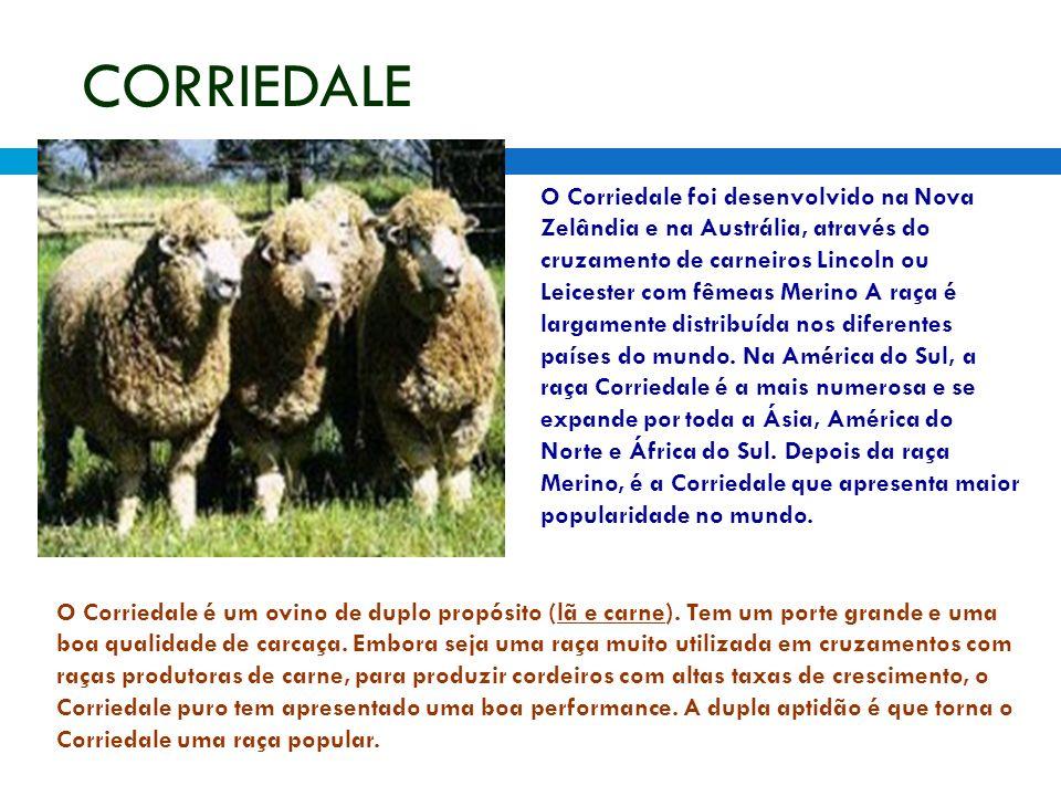 CORRIEDALE O Corriedale foi desenvolvido na Nova Zelândia e na Austrália, através do cruzamento de carneiros Lincoln ou Leicester com fêmeas Merino A raça é largamente distribuída nos diferentes países do mundo.